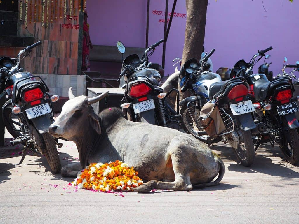 India Cow on the street with motorbikes