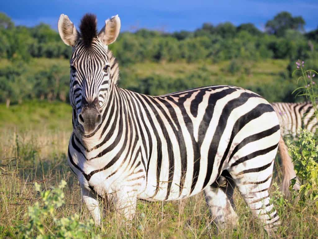 Africa-Botswana-Safari-Zebra
