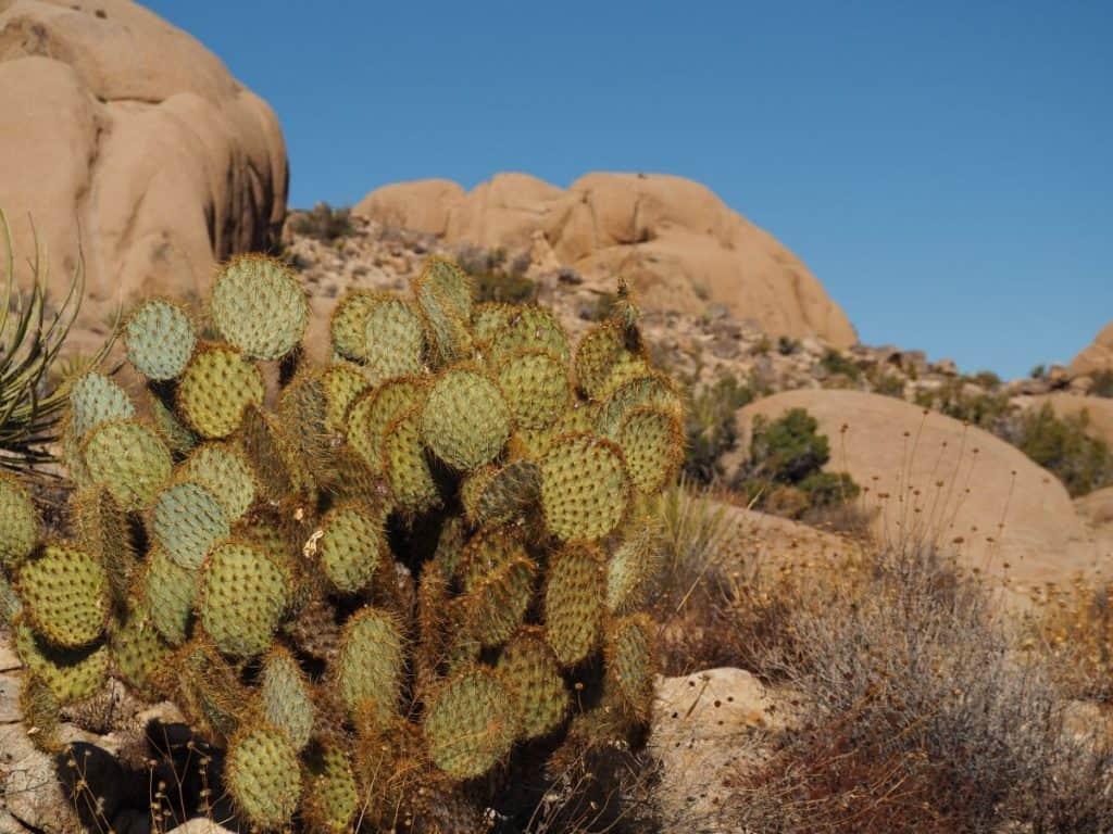 USA-roadtrip-joshua tree NP cactus