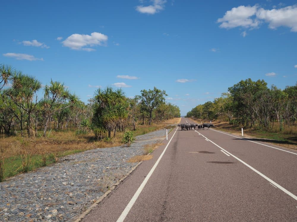 Wild Buffalo on the Road - Kakadu National Park