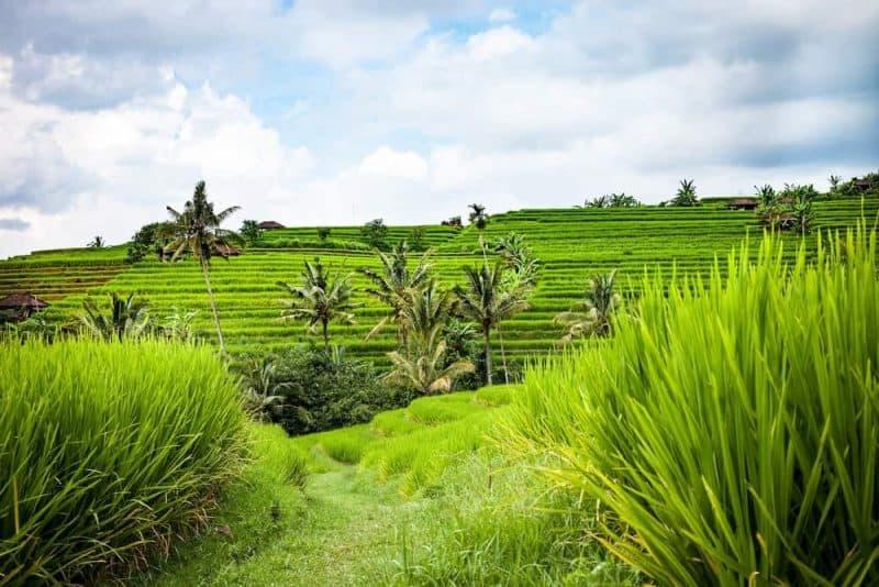 Bali Rice Fields Bali outdoors
