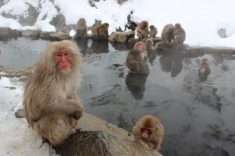 nagano snow monkeys - must visit places in japan