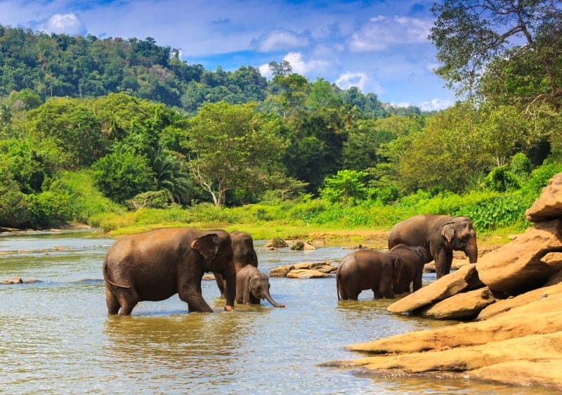 Sri Lanka Safari - Elephants in River
