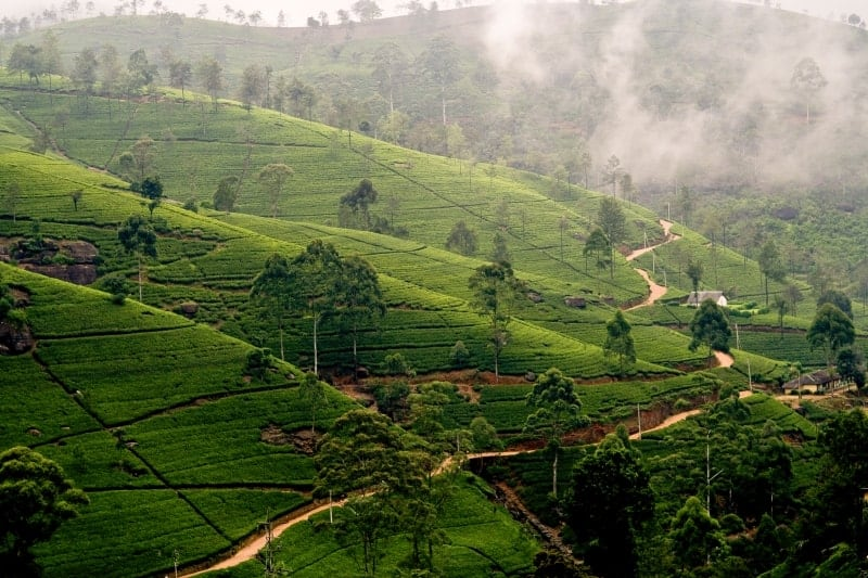 Landscaped Tea Plantations in Sri Lanka